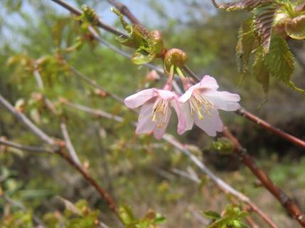 咲き残りのミネザクラ