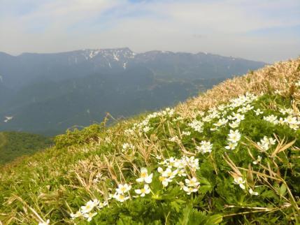 ハクサンイチゲのお花畑 後方は苗場山