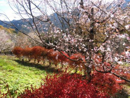 真っ赤なドウダンと桜