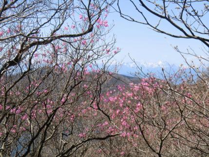 アカヤシオ  後方に白い上越国境の山並み