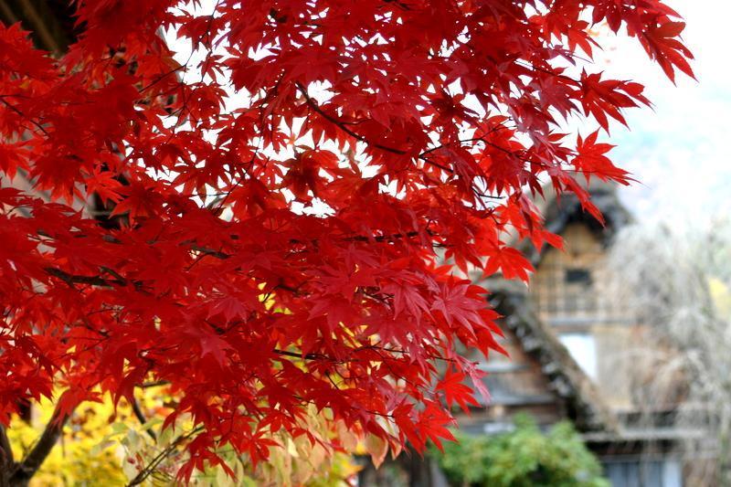 周りを山で囲まれた白川郷には、 綺麗な紅葉を見ることができるスポットが多数! お散歩がてら「紅葉狩り」へ 疲れたら美肌効果の高い「大白川温泉 しらみずの湯」でほっこり…♪ ⑧