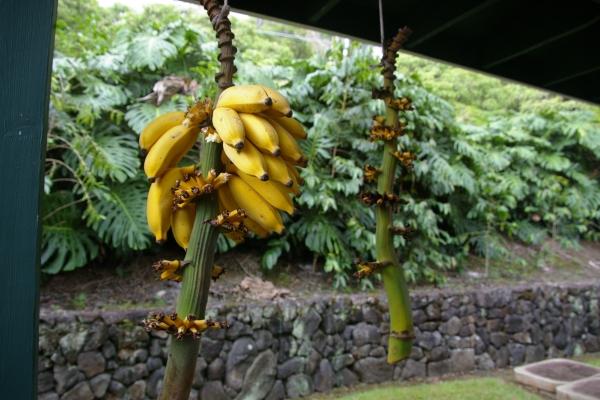 banana20120628233954.jpg