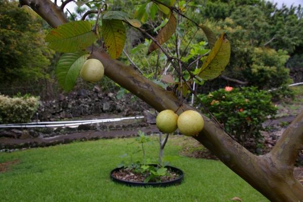 guava0519.jpg