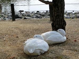 池の畔アヒル