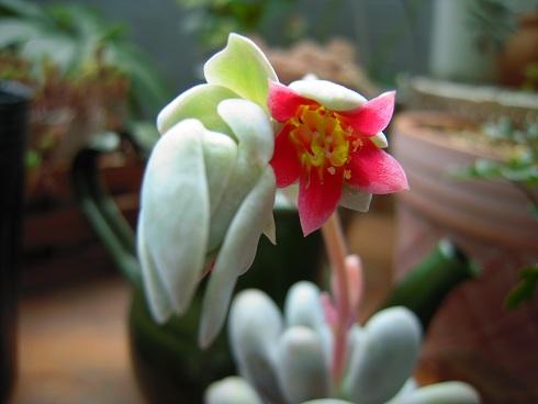 桃美人の花芽