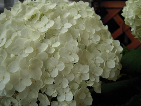 紫陽花・アナベル