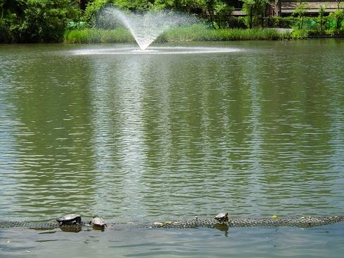 井の頭公園・亀