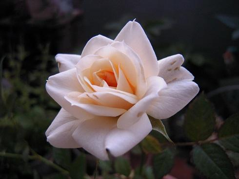 ミニバラ・ピサフォーエバー2番花 (2)