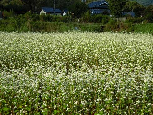 猪名川・そばの花