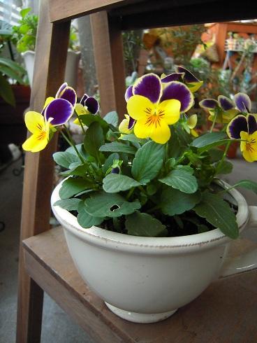 ビオラ・黄色 (2)