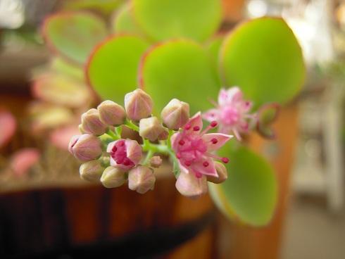 ミセバヤノ開花