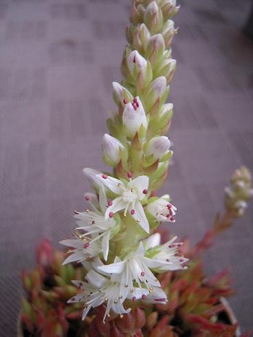 ツメレンゲの開花