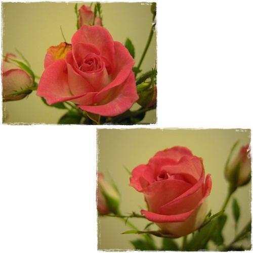 切り花・バラ