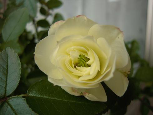 ミニバラ・グリーンアイス開花 12月 (2)