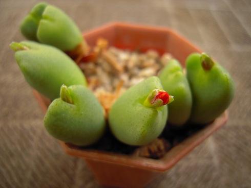 コノフィツムの花芽