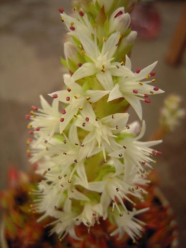 ツメレンゲのお花