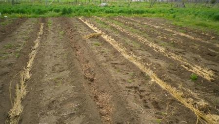 2012-5-8畑畝作り