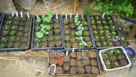 2012-5-9夏野菜の苗
