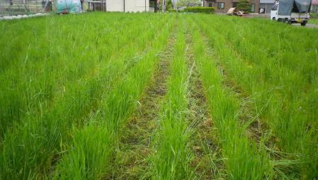 2012-5-11南部小麦