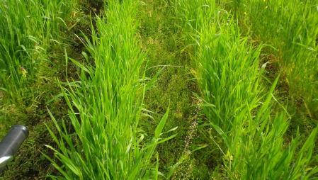 2012-5-13麦の溝つけ