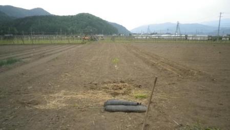 2012-5-17甘柿治郎柿