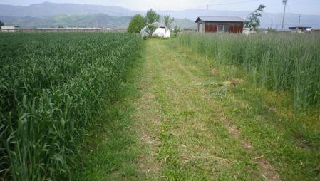 2012-5-22黒麦・ライ麦