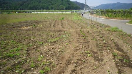 2012-6-3桔梗農園1