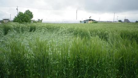 2012-6-10黒麦1