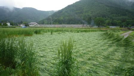 2012-6-10黒麦