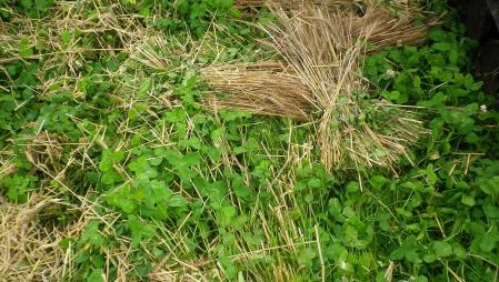 南部小麦5