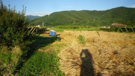 黒麦刈り取り