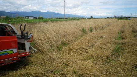 ライ麦の刈り取り