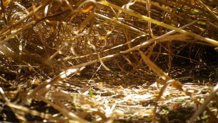 黒麦刈り取り2