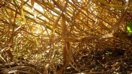 黒麦刈り取り1