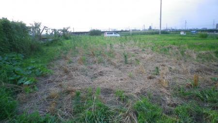 スペルト麦畑