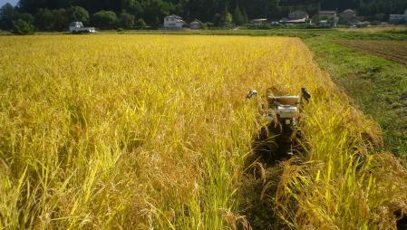 稲刈り (1)