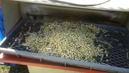 大豆のゴミ取り (4)