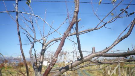りんごの害虫駆除 (2)