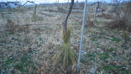 果樹冬準備 (2)