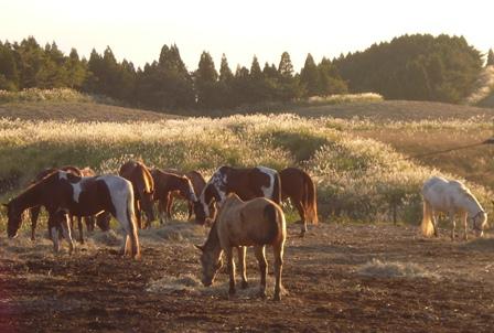 evening horses