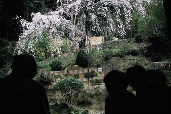 【一本桜の名桜】1