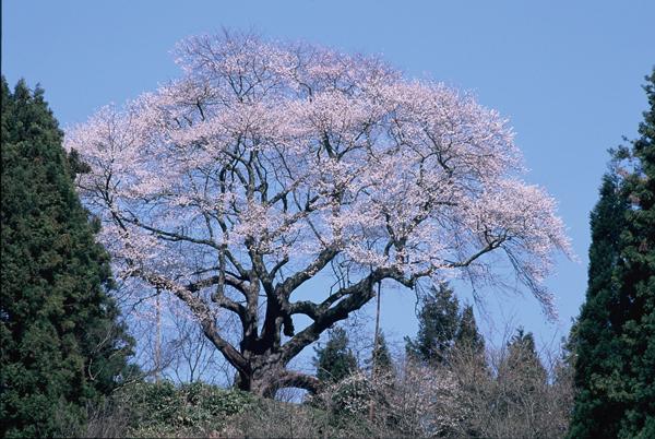 【一本桜の名桜】2