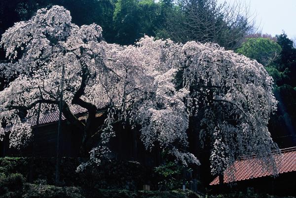 【一本桜の名桜】3