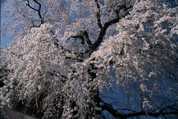 【一本桜の名桜】4