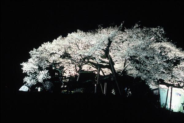 【一本桜の名桜】5