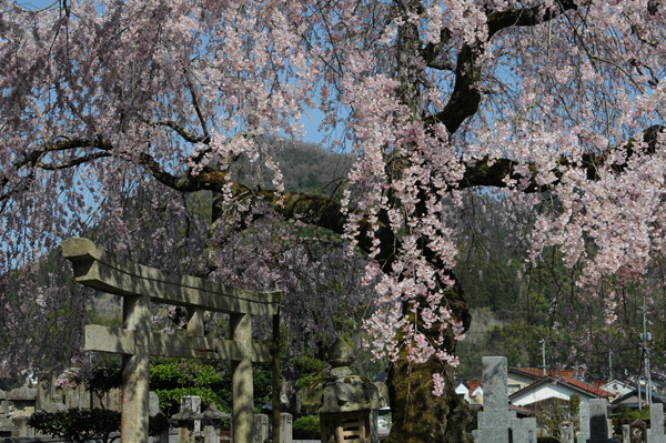 【一本桜の名桜】6