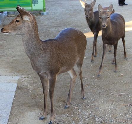 奈良の鹿たち
