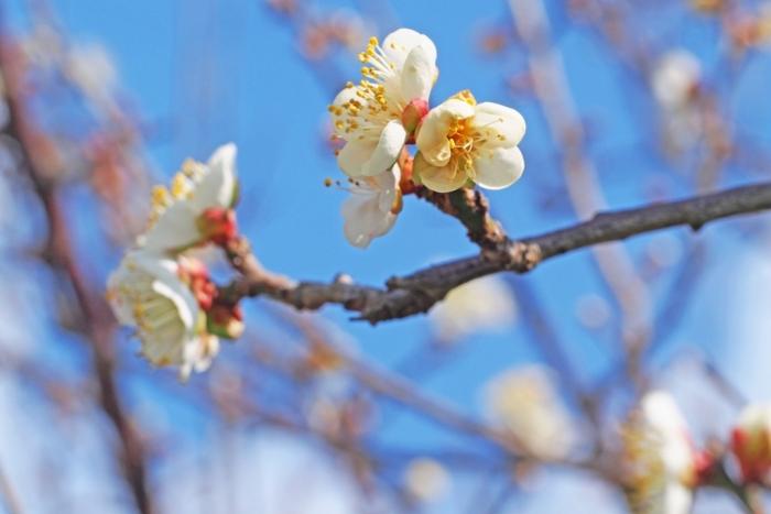 梅の花 4
