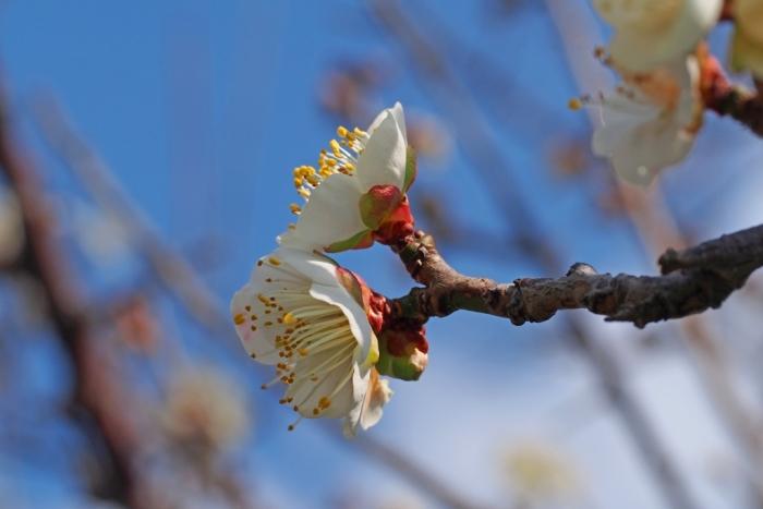 梅の花 2