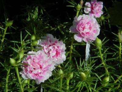 八重咲き松葉ボタン